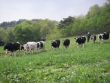 牧場での放牧